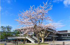 ROHM Theatre Kyoto - Cherry Blossoms